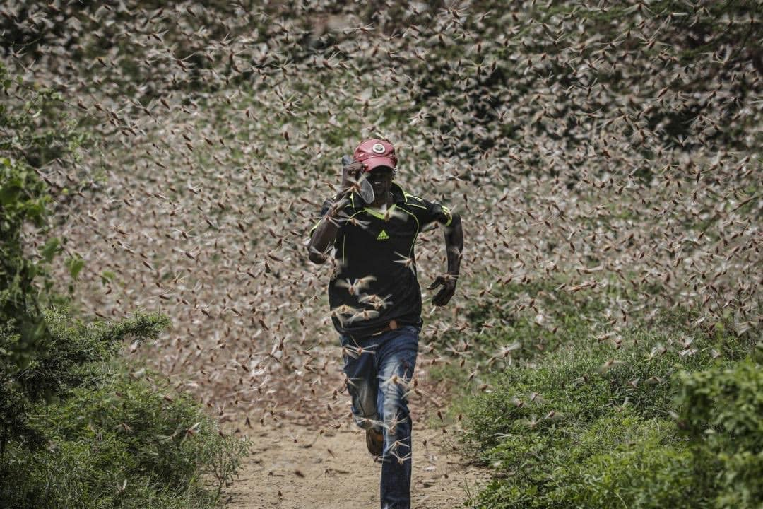 Locus Swarm in Africa, starvation coming? April 2020
